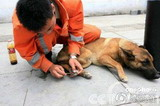 英勇负伤的搜救犬