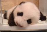 地震后的熊猫